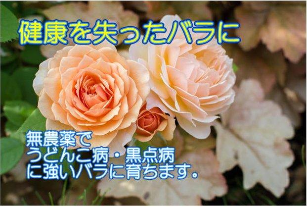 キトサン溶活力液「私のバラは超元気」