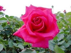 カニガラ肥料には、花や葉や果実をさらに美しくする色素カロチノイド(アスタキサンチン)がふくまれています。